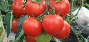 Кистевой сорт томатов для теплицы