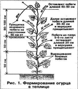 Формирование стебля огурцов