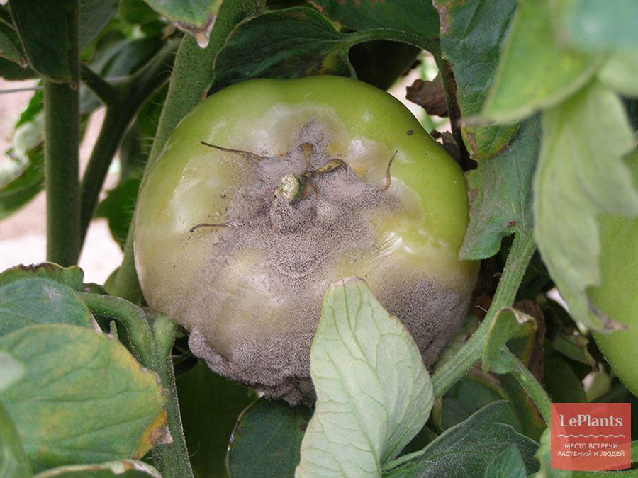 Серые пятна на листьях рассады томатов