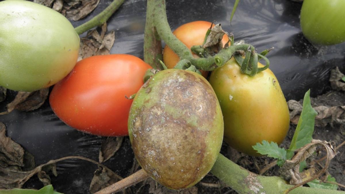 Фитофтороз на рассаде томатов