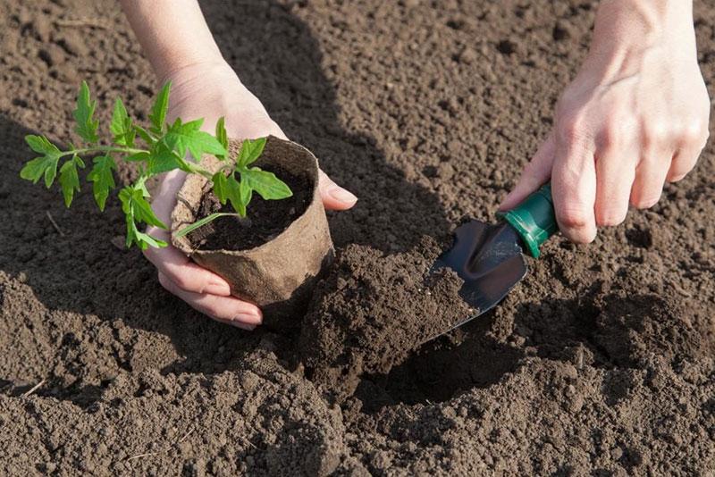 Как правильно посадить  помидоры в теплице