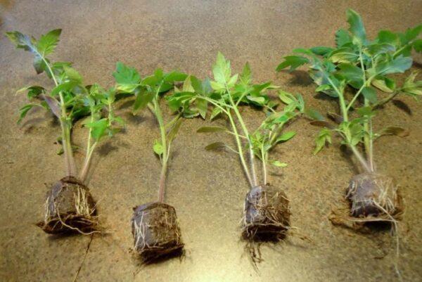 Наращивание корней